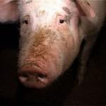 porc furat